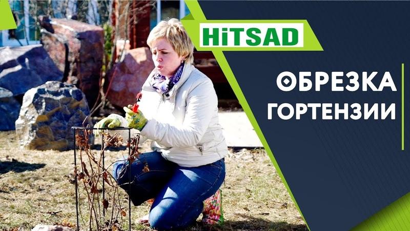 Правильная Обрезка Метельчатой Гортензии на Цветение Весной 🌺 Советы От Хитсад ТВ