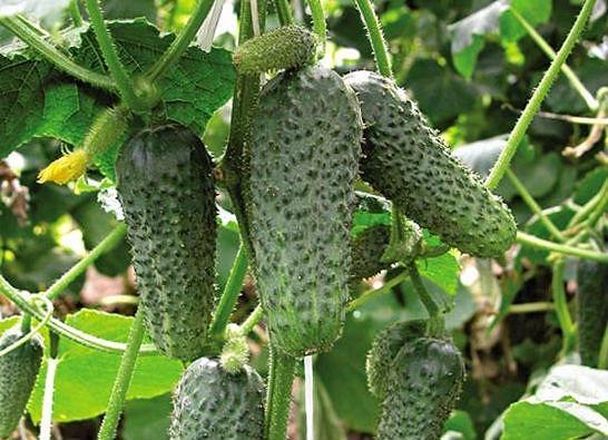 Шесть секретов урожайности огурца