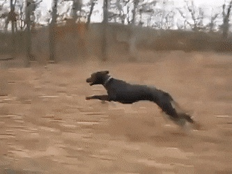 A Great Dane easily running along at 30 mph - Create, Discover and Share Awesome GIFs on Gfycat