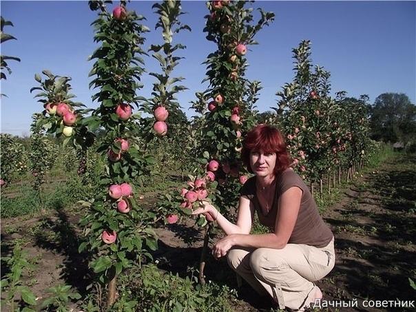 Колоновидная слива Блю свит Плоды сливы Блю свит очень крупные, созревают в начале августа. Взрослое дерево достигает высоты до 2,20 м, крона диаметром 70-90 см. Сорт отличается высокой