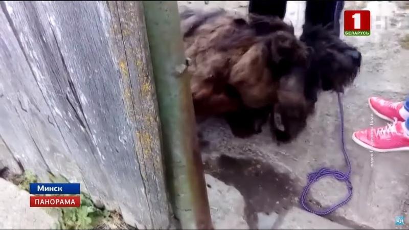 Обросший за 2 года шубой из грязи пес спасен и ищет хозяина. Панорама