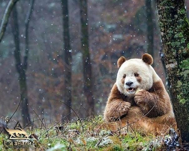 Это Кизай (Qizai). Он единственная коричневая панда в мире.