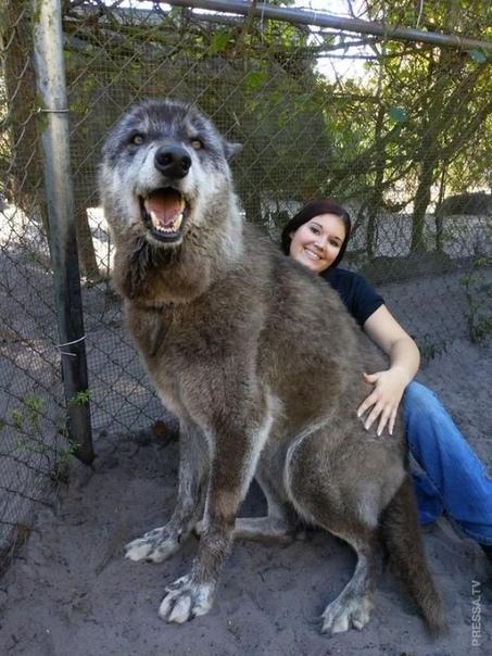 Юки - волкособ с непростой судьбой