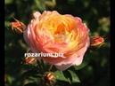 роза розоман дженон, питомник роз полины козловой,