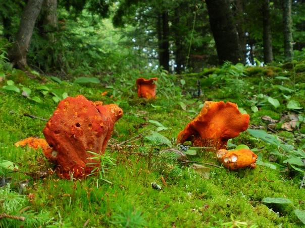 Лобстеровый гриб Гипомицес млечниковый (Hypomyces lactifluorum), в простонародье его называют грибом-лобстером, несмотря на своё название, не является грибом в общепринятом значении. Это