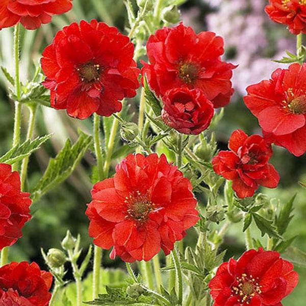 Гравилат Род гравилат (Geum), относящийся к семейству розоцветных, насчитывает около 50 видов. В ландшафтном дизайне используются около 20. В природных условиях растения произрастают на опушках