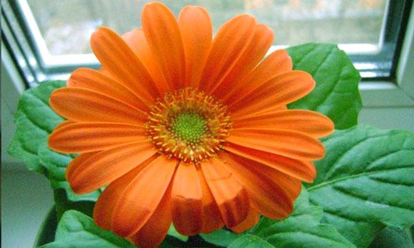 Комнатная гербера Гербера цветок универсальный. Она с не меньшим успехом растет как на клумбе, так и в домашних условиях как комнатное растение. Безусловно, условия содержания и ухода