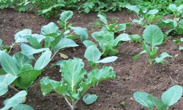 О безрассадном выращивании помидоров и капусты В практике огородничества с равным успехом используются два способа выращивания и посадки помидоров и капусты. Самый распространенный, это конечно