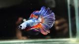 Male Marbled Blue Orange Halfmoon