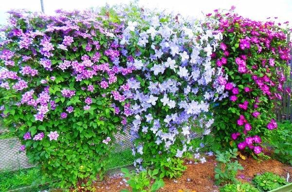 Размножение клематиса черенками Шикарный клематис украсит любой ландшафтный дизайн от цветущей лианы не оторвать глаз. Селекционеры увлеченно трудятся над новыми разновидностями, а владельцы