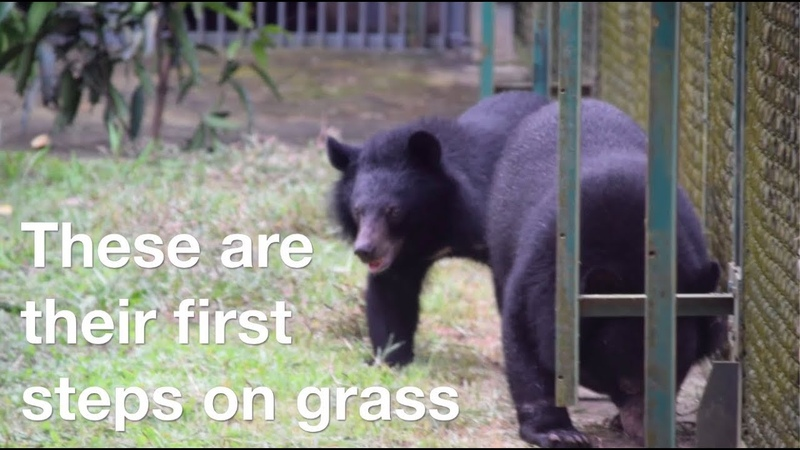 Bear cubs rescued from circus take their first steps on grass