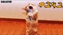 КОТЫ 2019 Смешные коты и котики, приколы с котов до слез – Смешные кошки – Funny Cats Выпуск 242