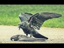 Ужасно трогательное видео До слёз ПЛАЧ ВОРОНЫ О ПОГИБШЕМ ПТЕНЦЕ 16