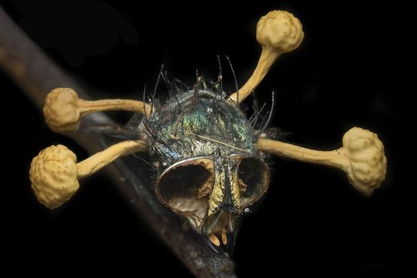 Паразитирующий гриб кордицепс