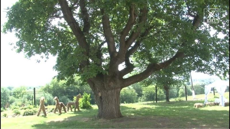 Памятник живой природы! Дуб усадьбы «Кривякино» войдет в реестр старовозрастных деревьев России