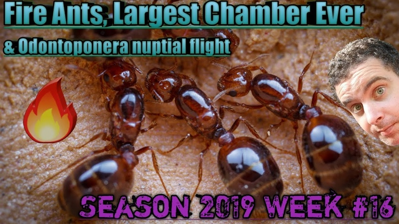 Red Fire Ants, Largest Founding Chamber Ever! | Season 2019 Week 16 Update