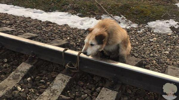Машиниста, спасшего привязанного к рельсам пса, наградят