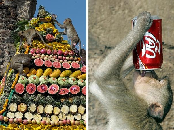 Обезьяний фестиваль Money Buffet Festival в Таиланде В таиландском городке Лопбури существует ежегодная традиция устраивать обезьяний банкет. Здесь живут около 3 000 хвостатых воров-обезьян,