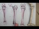 ANATOMY FOR ARTISTS The Lower Leg Bones Tibia Fibula