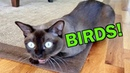 Burmese Cats Chattering and Talking about Birds! Cute Funny!