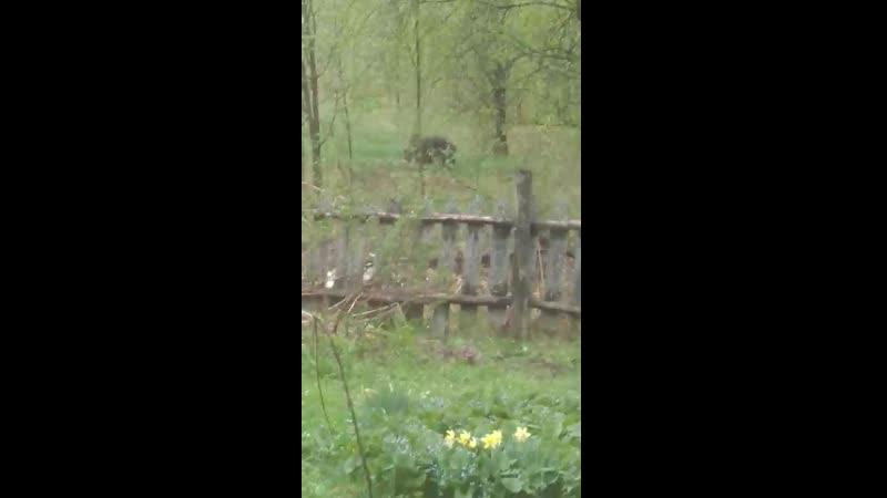 медведь на даче