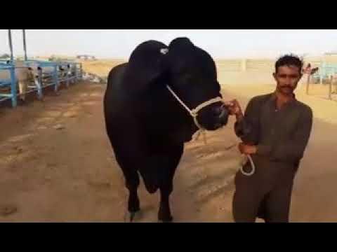 Interesting Facts cattle Beautiful Jet Black Big Bulls Jori Show by Farm for Bakra 2018