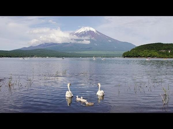白鳥の親子と富士山 Mt.FUJI and Family of swans ( Shot on RED EPIC )