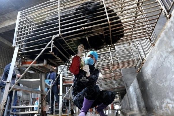 Подпишите петицию против издевательства над медведями. Над медведями издеваются в Китае. В Приморском крае незаконно продают медвежат китайцам. В Китае из них выкачивают желчь. Жестокость