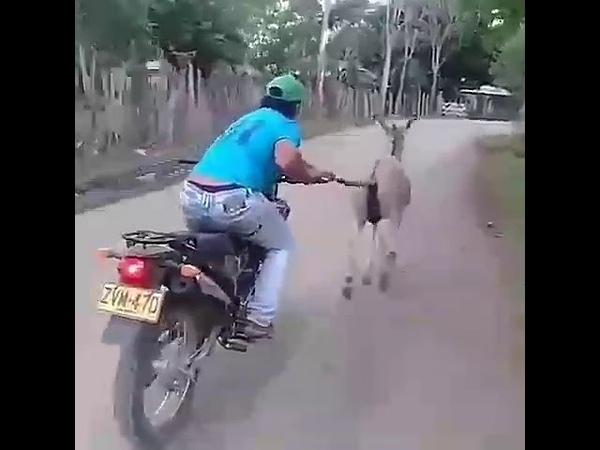 Jumento levando homem