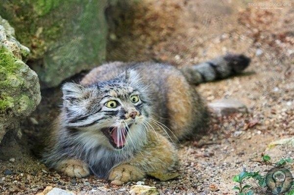 МАНУЛ САМАЯ ФОТОГЕНИЧНАЯ КОШКА В МИРЕ Манул, или палласов кот, небольшая дикая кошка, проживающая в Центральной и Средней Азии. Из-за ухудшения природных условий и охоты манулы близки к