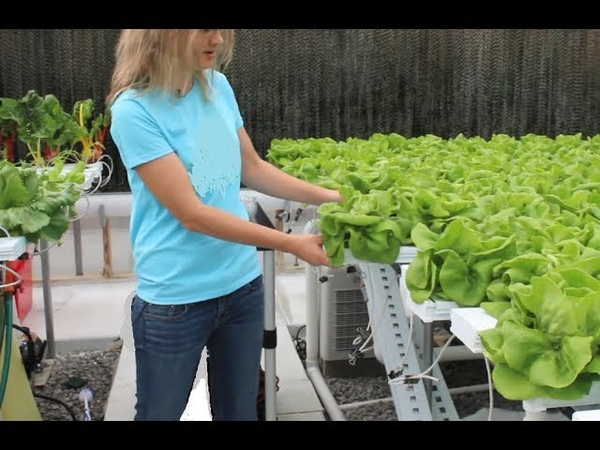 Viscon Hydroponics Автоматизированная гидропонная система Сбор урожая в теплице