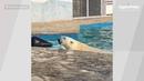 Белый медведь Айон переехал в зоопарк Ростова на Дону