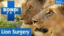 Ветеринар Бондай Бич: Львиная хирургия в Африке (3 сезон 15 серия) / Lion Surgery In Africa | S03E15 | Bondi Vet