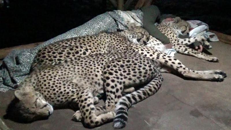 Do Cheetahs Prefer Cold Hard Concrete Or Warm Blankets Pillow A Friend? | Three BIG CAT Night
