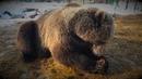 Как избаловать медведя Мансура