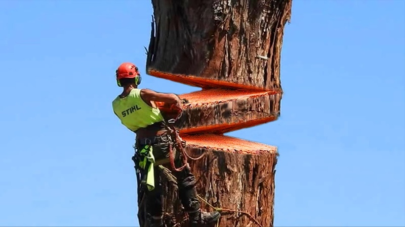 Dangerous Hazard Tree Felling in Wildfires, Lumberjack Tree Cutting Down with Chainsaw Machine