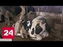 В Подмосковье обнаружили заброшенное хозяйство с двумя сотнями погибающих животных - Россия 24
