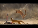 Cobra is Punished When Deliberately Spraying Venom Into Mongooses