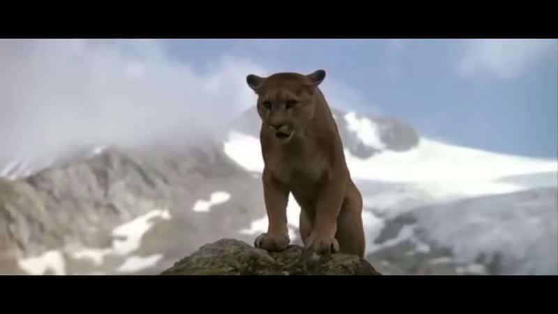 Пума против медвежонка.