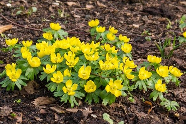 ЭРАНТИС Название Эрантис происходит от греческих слов «еr» - весна и «anthos» - цветок и дословно переводится как «весенний цветок», а по-русски - весенник. И это не случайно Эрантис один из