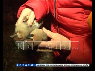 Пернатая катастрофа - массовый падеж птиц в Ленинском районе
