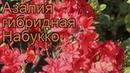 Азалия гибридная Набукко azalea knap hill nabucco 🌿 обзор как сажать саженцы азалии Набукко