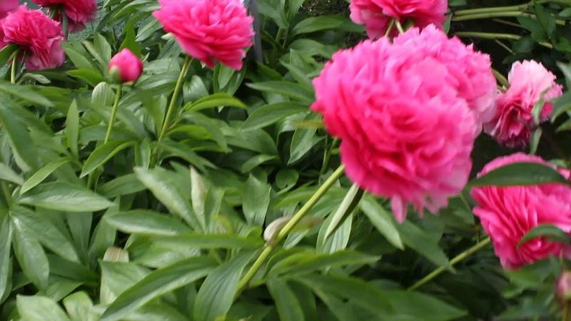 Bess Bockstoce | R2 Flowers | Peonies