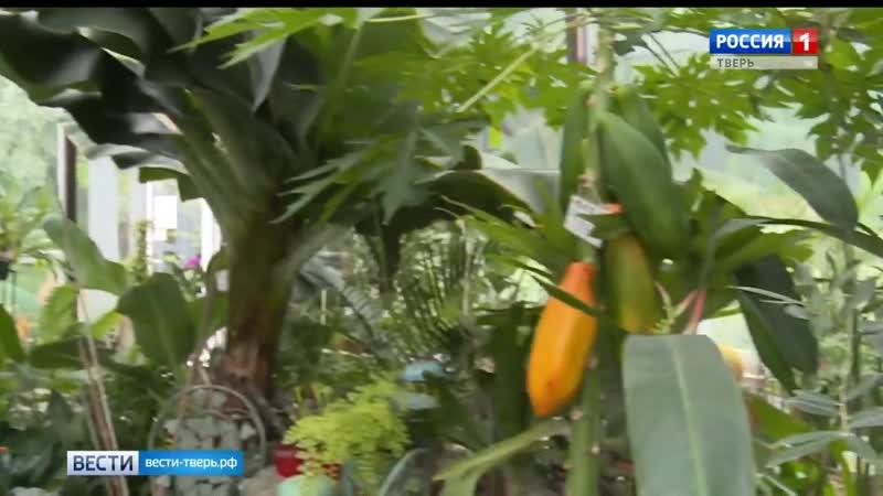 В Ботаническом саду Твери созрел первый плод папайи