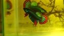 Amazing colorful Wild betta imbellis show quality - Franksbettas