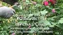 РОЗЫЛетняя обрезкаСоветы начинающим розоводамПросто-понятно-доступно