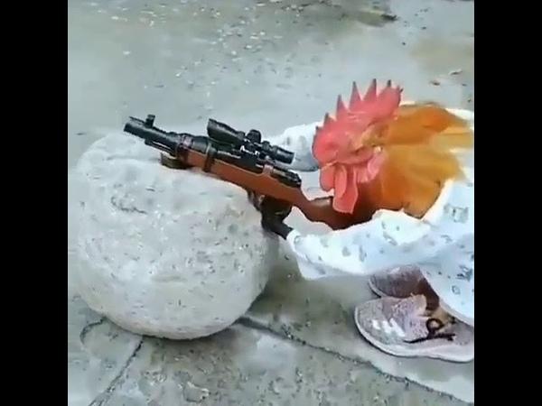 Петух научился стрилять из ружья