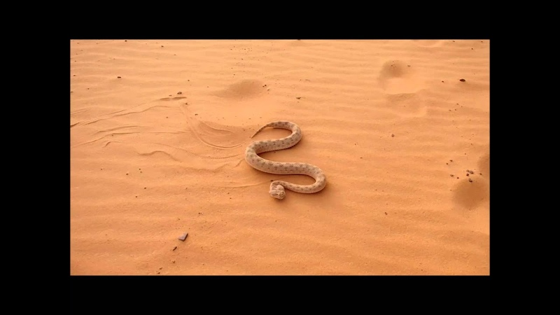 Cerastes cerastes, Adrar, Mauritania