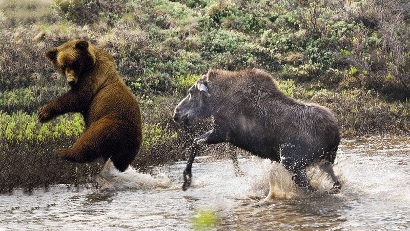 Amazing Mother Moose Protect Her Baby From Grizzly Bear Chasing Bear Hunting Fail