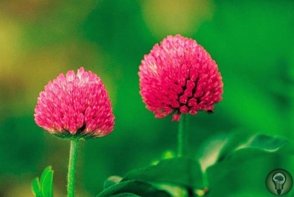 Клевер красный. Клевер красный, или по-другому «луговой» принадлежит к семейству бобовых. Разнообразен и богат химический состав листьев и цветов клевера красного. В нем содержатся следующие